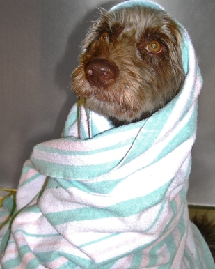 All Bundled up after a Medicated Bath with the veterinary team at Hawthorne Hills Veterinary Hospital - Seattle, WA