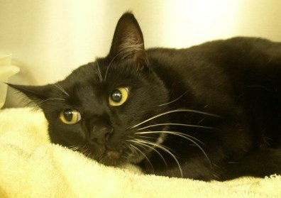 Sophie, a black cat was brought here to Hawthorne Hills Veterinary Hospital in Seattle because she was coughing.