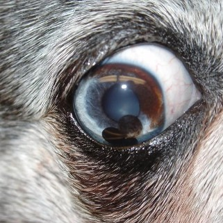 Something Behind The Eye On Dogs